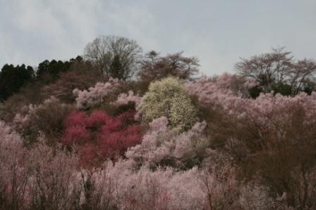 コピー 〜 花見山 22・4・11 019.jpg
