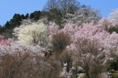 花見山 2011 001.jpg
