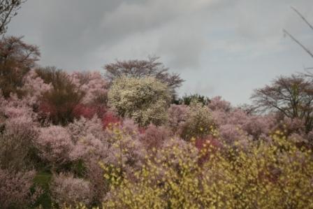 コピー 〜 花見山 22・4・11 016.jpg