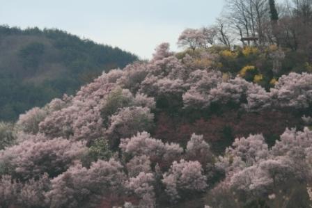 コピー 〜 花見山 22・4・11 027.jpg