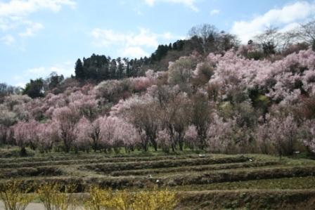 コピー 〜 花見山 22・4・8 007.jpg