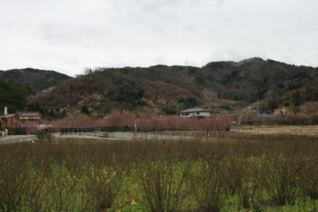 花見山22年 001.jpg