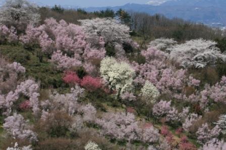 花見山 2011 004.jpg