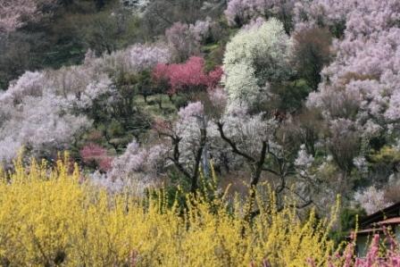 花見山 2011 009.jpg